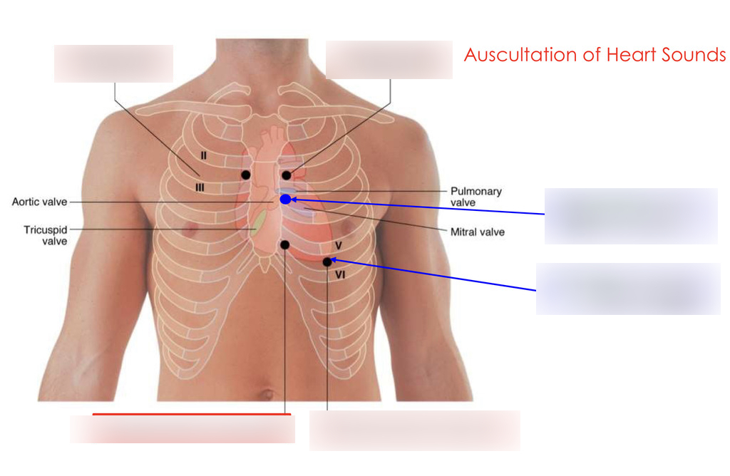 How to Auscultate Heart Sounds